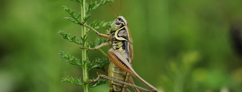 cricket-insect-macro-nature-wallpaper